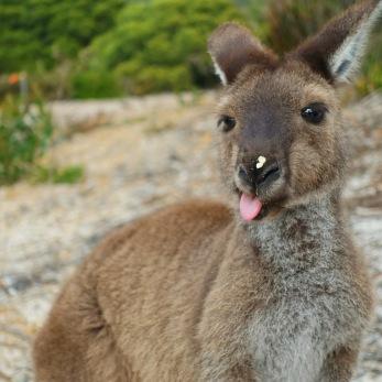 Mama-Känguru mit Banane an der Nase